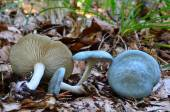 Aniseed Funnel mushrooms — Foto de Stock