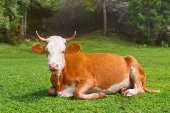Brown bull lays on the meadow — Stock Photo