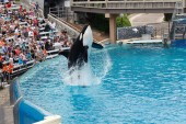 Killer Whale performing at Sea World — Stock Photo