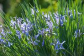 Spring garden iris flowers — Foto de Stock