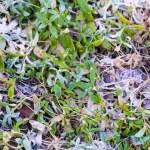 Melting snow on green grass close up — Stock Photo #66071801