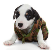Puppy in dress military — Stock Photo