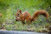Wiewiór — Zdjęcie stockowe