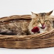 Cute cat Maine Coon licking lips lying in a wicker basket — Stock Photo #61246429