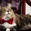 Beautiful Maine Coon cat in a luxurious leather chair in the bow tie around his neck — Stock Photo #61247767
