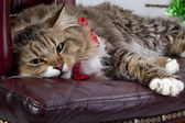 Huge cat Maine Coon lying in a chair — Stock Photo
