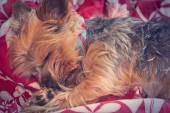 Yorkie Terrier Sleeping — Stock Photo