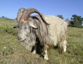 Goat on pasture — Stock Photo