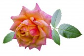 Rose — Photo