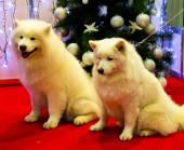 Samoyed cani — Foto Stock