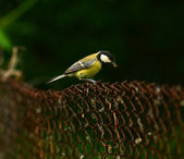 Great Tit sitting on the gate — Stock Photo