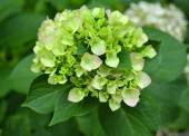 Beautiful hydrangea flowers — Stock Photo