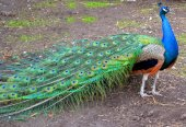 Peacock with beautiful tail — Stock Photo