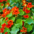 Nasturtium fllowers in the garden — Stock Photo #67693375