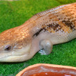Cute lizard in terrarium — Stock Photo #73529455