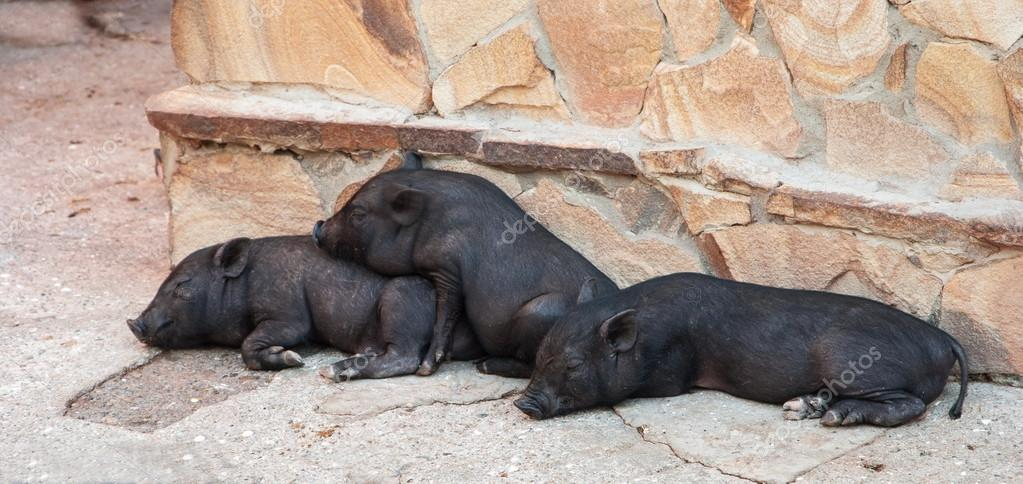 小黑猪在农场上睡觉– 图库图片