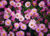 Small garden Astra flowers.  — Stockfoto