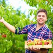 Young man, gardener harvesting peaches in fruit garden — Stock Photo #54330457