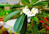 Branch of plumeria flower (frangipani) in tropical garden — Stock Photo