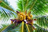 Ripe coconuts hanging on palm tree in tropical garden — Foto de Stock