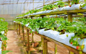 Growing strawberries in greenhouse — Stock Photo