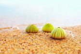 Group of green sea urchin shells on sandy beach — Stock Photo