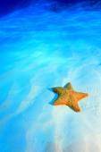 Cushion sea star — Stock Photo