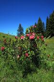 Alpine rose plant — Stock Photo