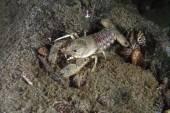Eastern crayfish — Stock Photo