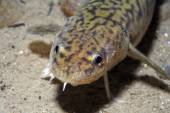 Burbot fish — Stock Photo