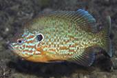 Pumpkinseed sunfish — Stock Photo