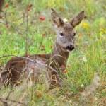 A wild female roe deer looking alert — Stock Photo #59849345