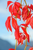 Virginia Creeper leaves — Stock Photo