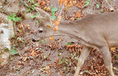 Young male roe deer — Stock Photo