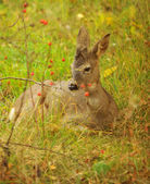 A young and wild male fawn — Stock Photo