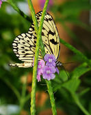 A white tree nymph butterfly — Stock Photo