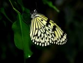The white tree nymph butterfly — Stockfoto