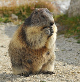 A European marmot view — Stock Photo