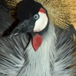 Постер, плакат: Grey Crowned Crane