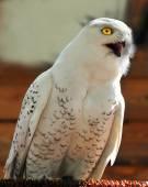 Снежная сова (Harfang) — Стоковое фото