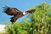 Vulture in flight view — Stock Photo