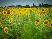 Blooming sunflowers — Stock Photo