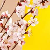 Flowering apricot tree branch. — Stock Photo