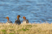 A small group of Wigeons (Anas penelope) at the waterside — Stock Photo