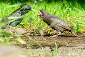 Young fledgling Starling being fed grub by parent — Stock Photo