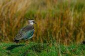 Lapwing (Vanellus vanellus) surveys its territory — Stock Photo