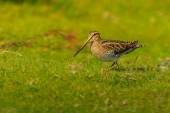 Single Snipe (Gallinago gallinago) timidly surveys its territory — Stock Photo