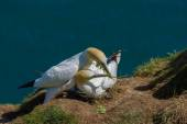 Northern Gannet psi (Morus bassanus) bonding while building a nest — Stock Photo