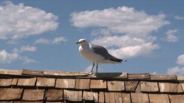 Seagull at Mono Lake — Stock Video