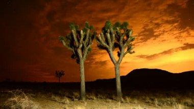 Joshua Trees at Night — Stock Video